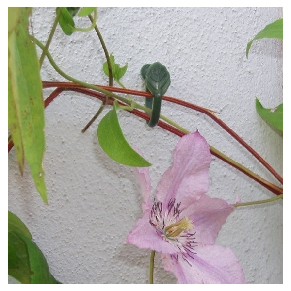 Plantenklemmen, Clematis