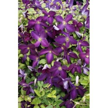 Clematis 'Jackmanii Purpurea'