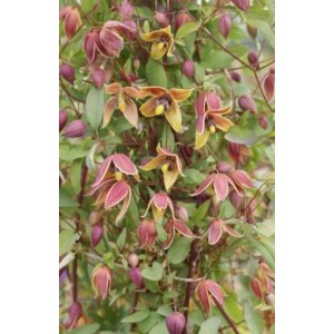 Clematis 'My Angel'
