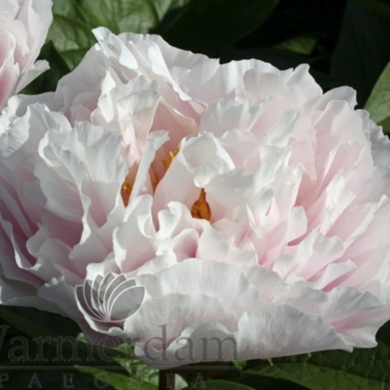 Paeonia 'Blushing Princess'