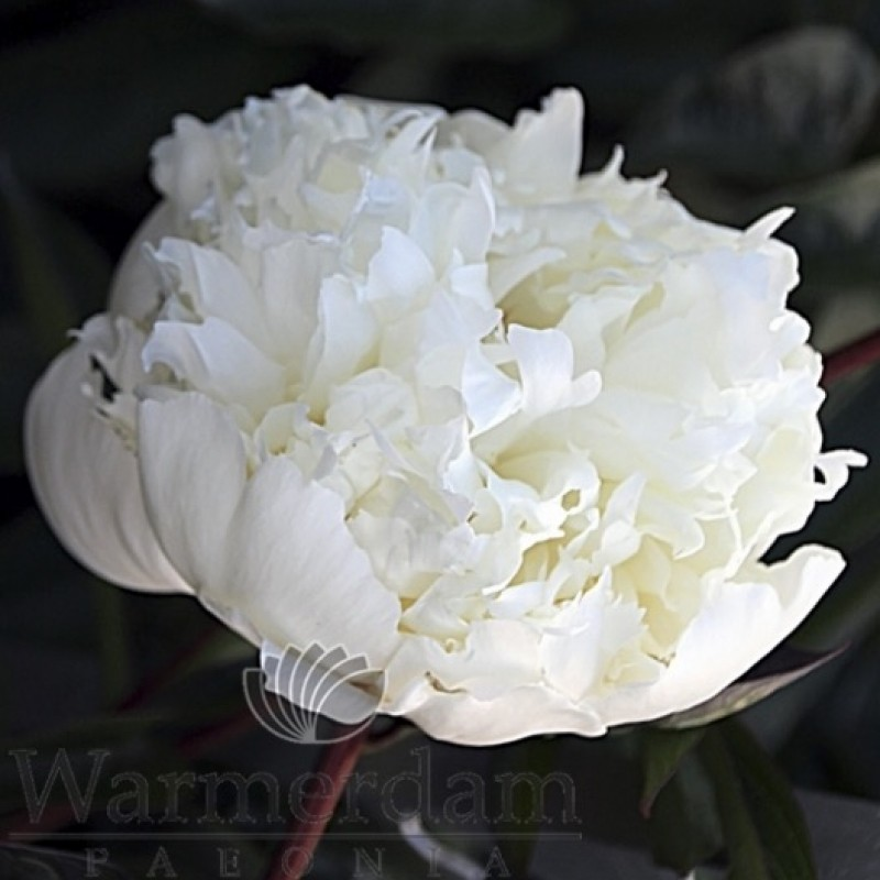 Paeonia 'Capital Dome'