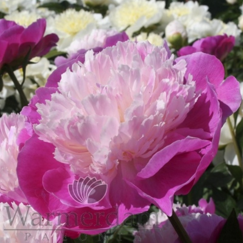Paeonia 'Gay Paree'