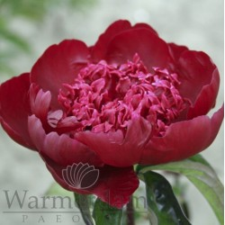 Paeonia 'Hot Chocolate'