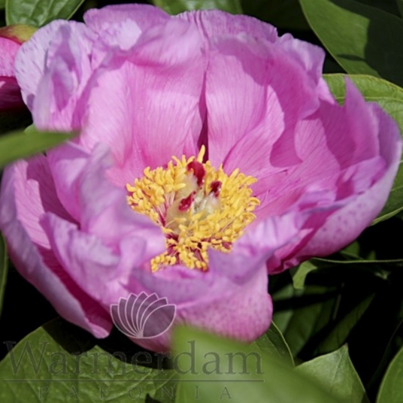 Paeonia 'May Lilac'