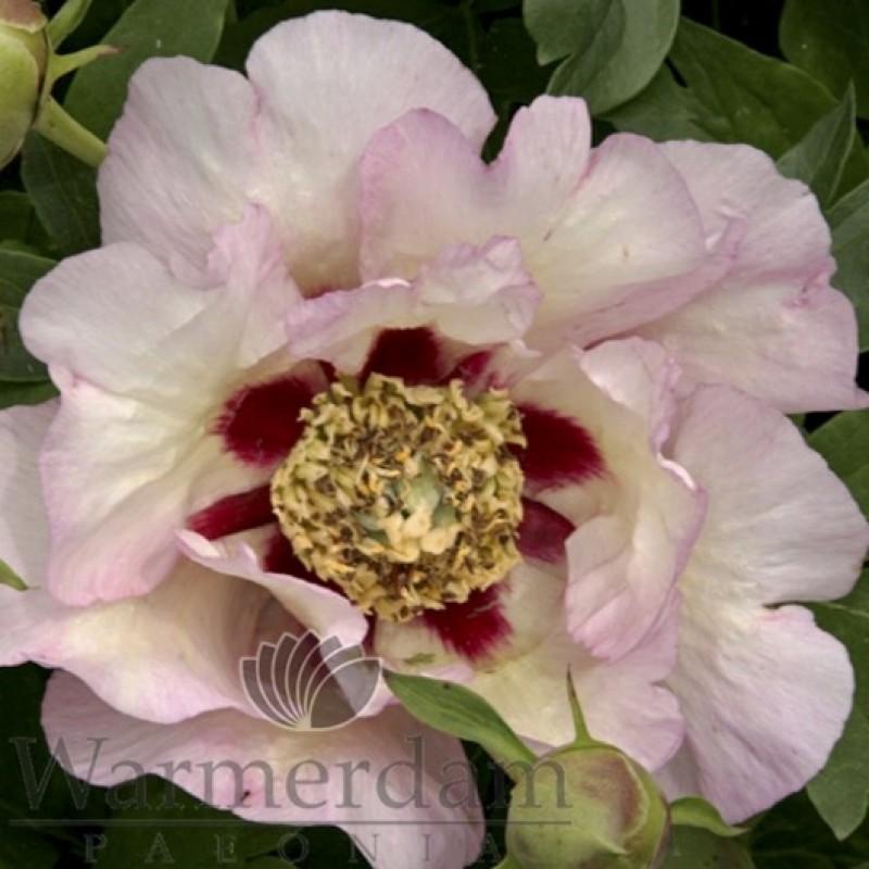 Paeonia 'Pastel Splendour'