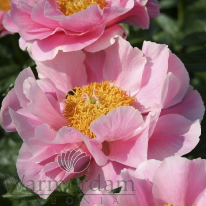 Paeonia 'Salmon Dream'