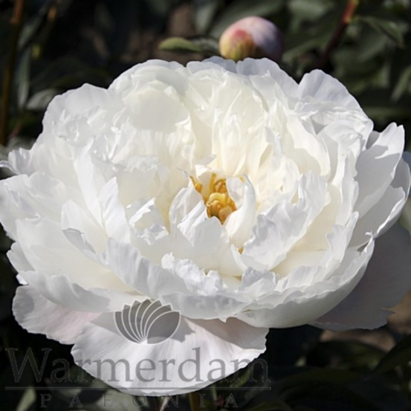 Paeonia 'White Grace'