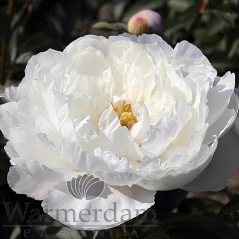 Paeonia 'White Grace'