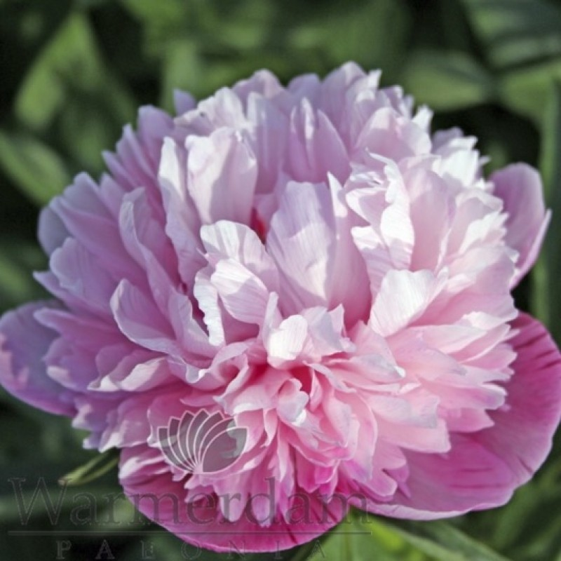 Paeonia officinalis 'Mutabilis Plena'
