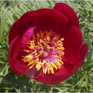 Paeonia tenuifolia (hybrid)