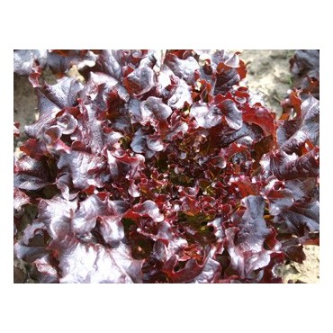 Eikenbladsla, Red salad bowl Lactuca sativa