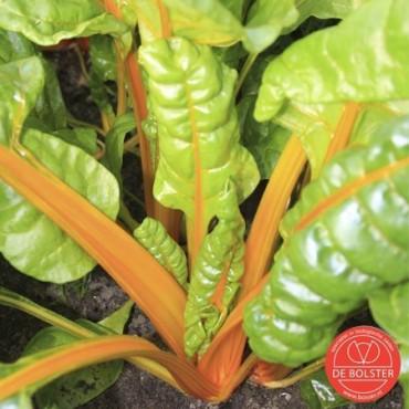 Snijbiet selectie Sunset, Beta vulgaris var. cicla