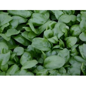 Spinazie Vroeg Reuzenblad, Spinacia oleracea