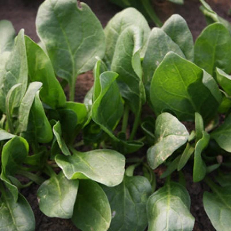 Spinazie Winterreuzen, Spinacia oleracea