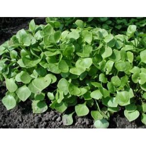 Winterpostelein, Claytonia perfoliata