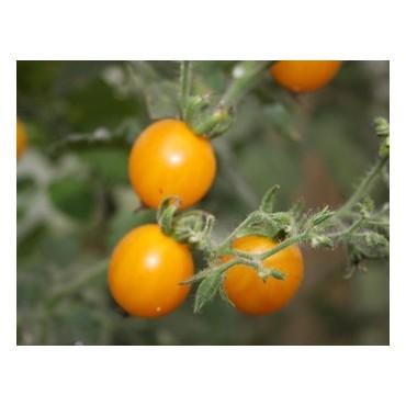 Tomaat, coctail,  Clementine, Solanum lycopersicum L.