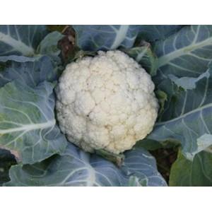 Bloemkool Flora Blanca, Brassica oleracea var. botrytis