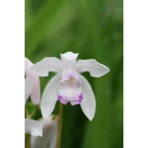 Bletilla striata 'Sweet Lips'