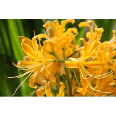 Lycorus aurea