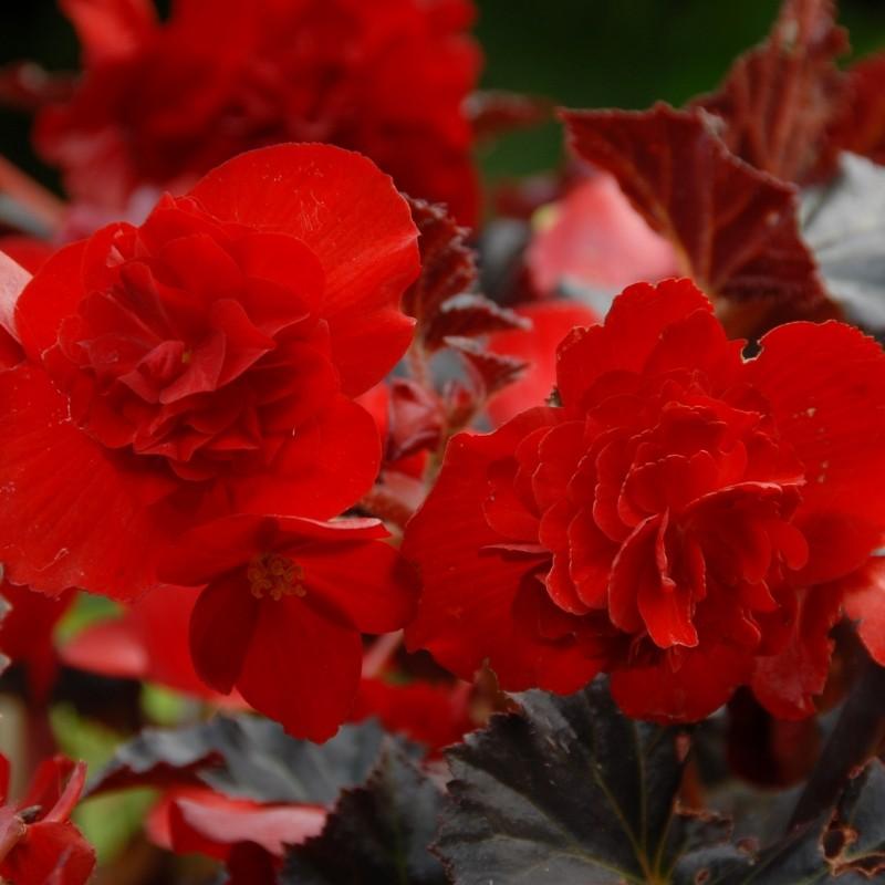 Begonia multiflora 'Zwitserland'