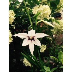 Gladiolus callianthus 'Murielae'