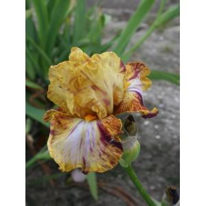 Iris 'Autumn Years'