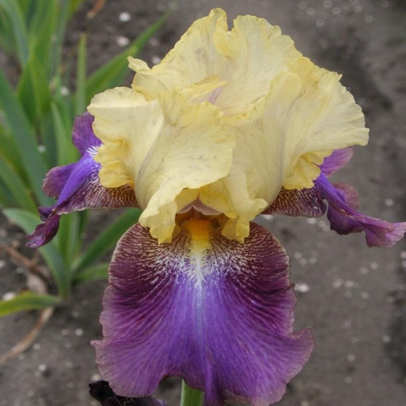 Iris 'Ballyhoo'