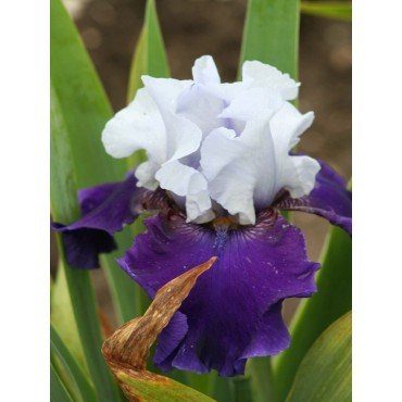 Iris 'Bastiaan'