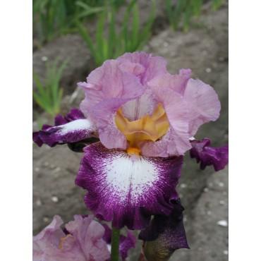 Iris 'Change Of Pace'