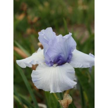 Iris 'Coastal Mist'