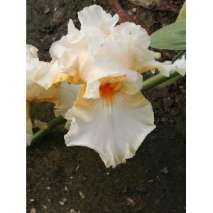 Iris 'Crystal Glitters'