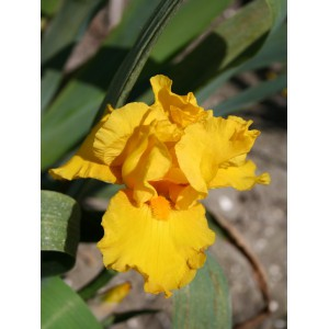 Iris 'Golden Apple'