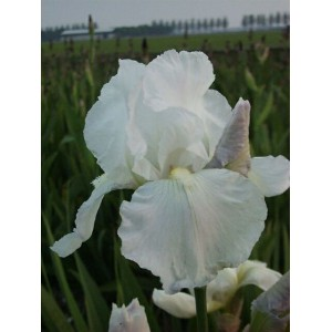 Iris 'Immortality'