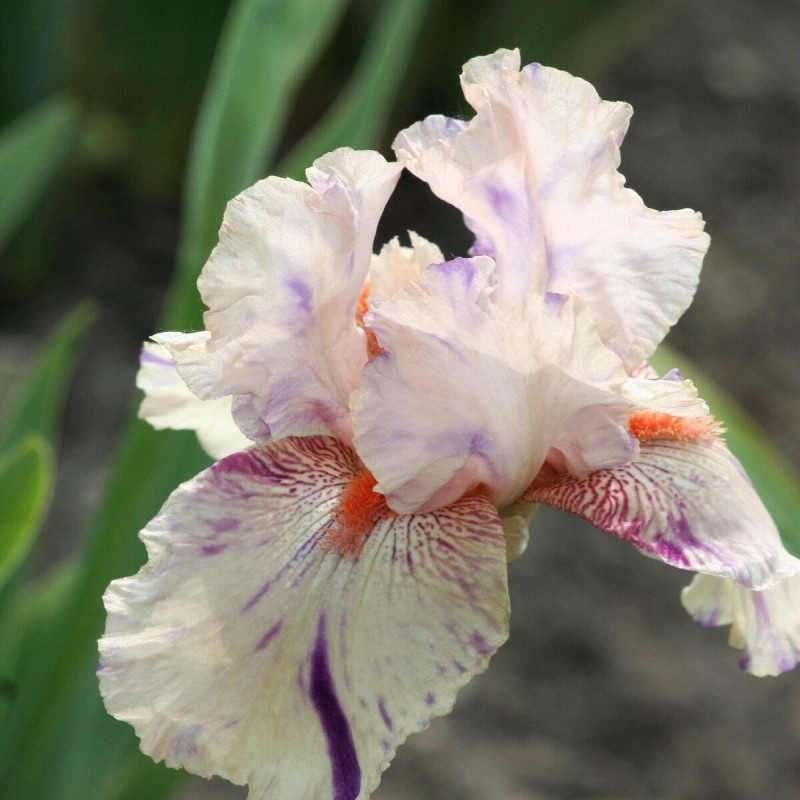 Iris 'Peach Jam'
