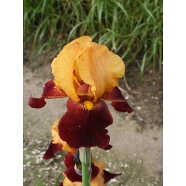 Iris 'Red Wine'