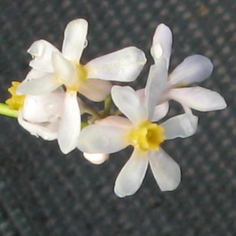 Tulbaghia coddii