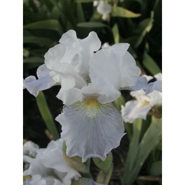 Iris 'Antarctique'