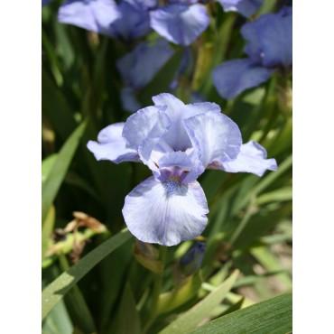 Iris 'Baby Blue Marine'
