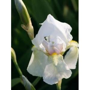 Iris 'Florentina Alba'