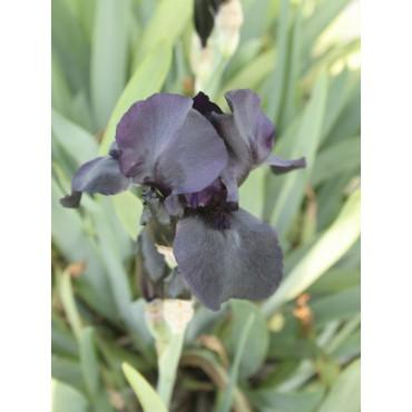 Iris 'Helen Proctor'