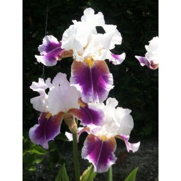 Iris 'Silver Peak'