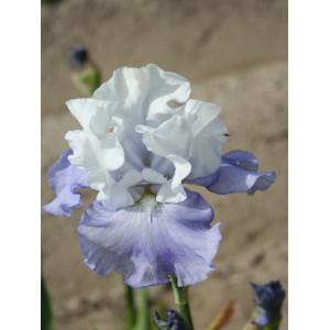 Iris 'Skylark's Song'