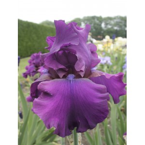 Iris 'Sultry Mood'