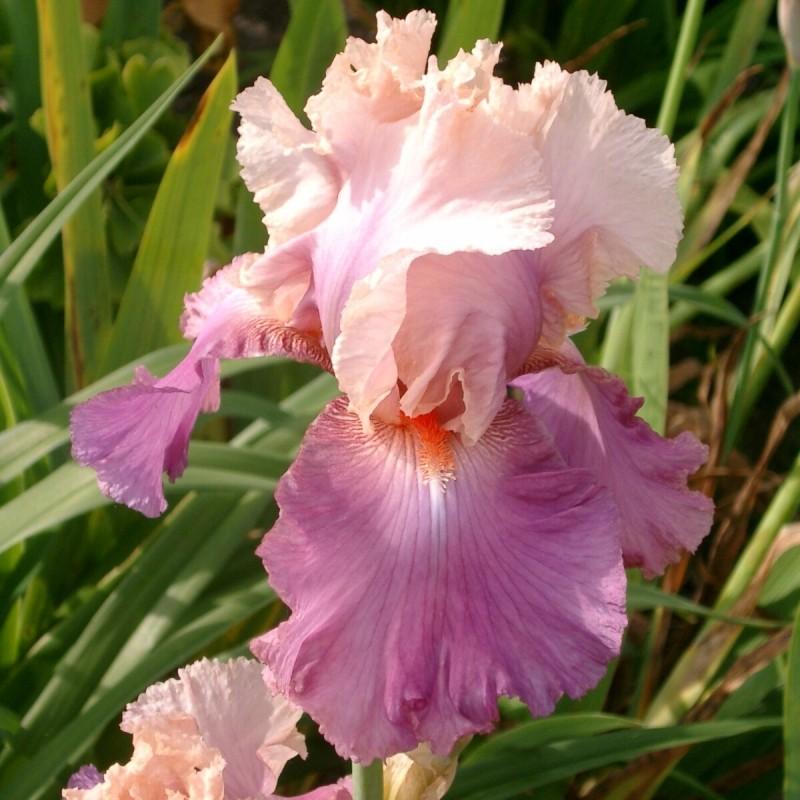 Iris 'Sweet Mussete'