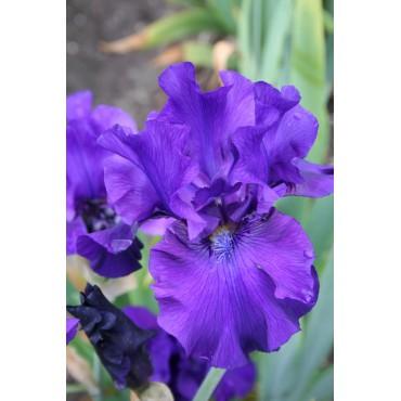 Iris 'Vera'