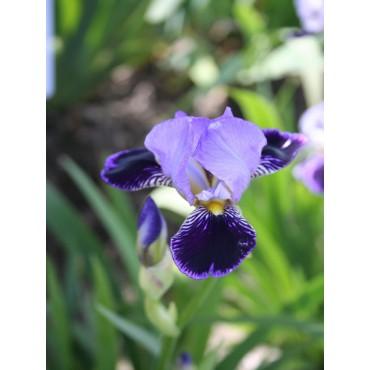 Iris 'Marginal Way'