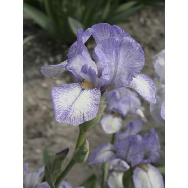 Iris 'Petite Monet'