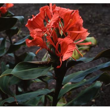 Hedychium greenei