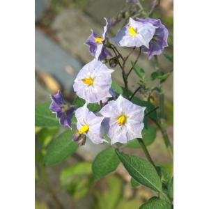 Solanum tuberosum 'Grimpanti'