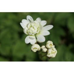 Saxifrage granulata var. plena